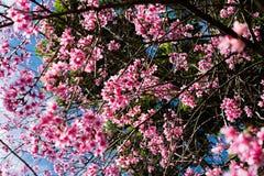 通配开花的樱桃 库存图片