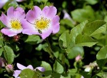 通配开花的玫瑰 图库摄影