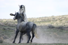 通配战斗的马 免版税图库摄影