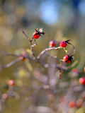 通配抽象秋天背景的浆果 免版税图库摄影