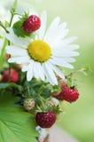 通配春黄菊的草莓 库存照片