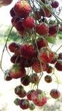 通配束的草莓 免版税库存照片