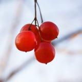 通配束的莓 免版税库存图片