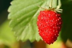 通配果子的草莓 免版税库存图片