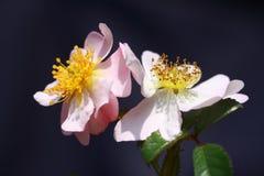 通配桃红色的玫瑰 免版税库存照片