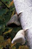 通配桦树生长蘑菇的结构树 库存图片
