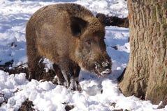 通配森林的猪 库存图片
