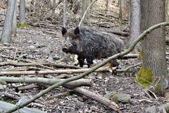 通配森林的猪 免版税库存照片