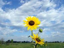 通配横向的向日葵 免版税图库摄影
