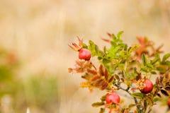 通配浆果的玫瑰 图库摄影