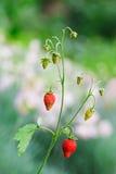 通配浆果红色草莓的枝杈 免版税库存照片