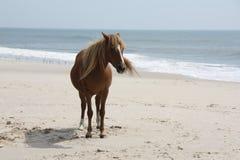 通配海滩的小马 免版税库存图片