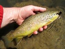 通配海狸棕色小河的鳟鱼 免版税库存图片