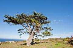 通配海角好希望半岛的结构树 免版税图库摄影