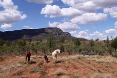 通配澳洲的马 库存图片
