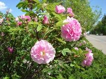 通配灌木的玫瑰 免版税库存照片