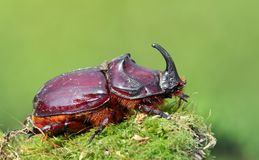 通配甲虫欧洲的犀牛 免版税库存照片