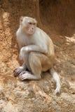 通配白变种的短尾猿 库存照片