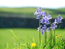 通配的会开蓝色钟形花的草 免版税图库摄影