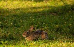 通配的兔子 库存照片