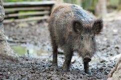 通配的公猪 免版税库存图片