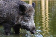 通配的公猪 免版税图库摄影