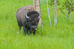 通配的北美野牛 库存图片