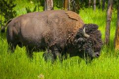通配的北美野牛 免版税库存照片