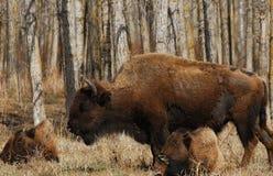 通配的北美野牛 免版税库存图片