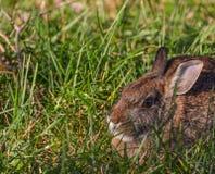 通配的小兔 免版税库存照片