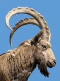 通配的山羊 免版税图库摄影