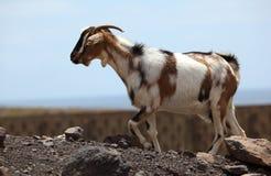 通配的山羊 免版税库存照片