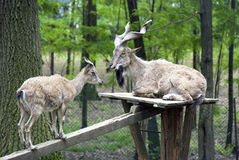 通配的山羊 免版税库存图片