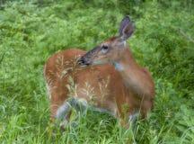 通配的新白尾鹿女性 库存照片