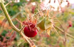 通配的果子 免版税库存图片