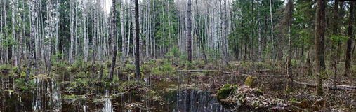 通配的森林 免版税库存图片