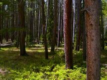 通配的森林 免版税库存照片