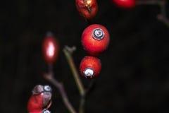 通配的浆果 免版税图库摄影