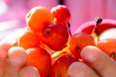 通配的浆果 库存照片