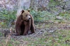 通配的熊 免版税库存照片