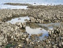 通配的牡蛎 库存图片