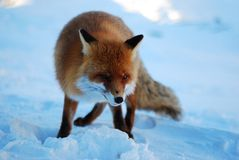 通配的狐狸 免版税库存照片