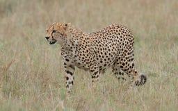 通配的猎豹 库存照片