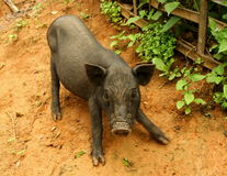 通配的猪 免版税库存图片