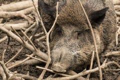 通配的猪 库存图片
