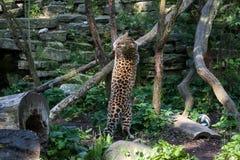 通配的猫 在露天笼子的阿穆尔河豹子 免版税库存图片