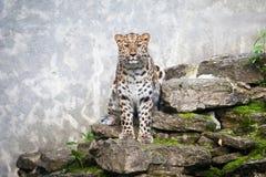 通配的猫 在露天笼子的阿穆尔河豹子 库存照片