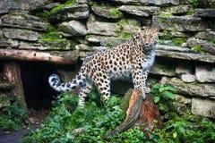通配的猫 在露天笼子的阿穆尔河豹子 免版税库存照片