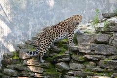 通配的猫 在露天笼子的阿穆尔河豹子 图库摄影
