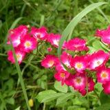 通配的玫瑰 好的花在庭院里盛夏,在一个晴天 库存照片